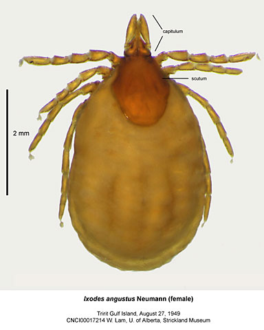Ixodes angustus tick, known Lyme disease vector